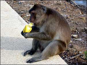 Macaco comendo banana