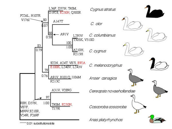 Reconstruction of MC1R evolution over an independent molecular phylogeny of swans and W640