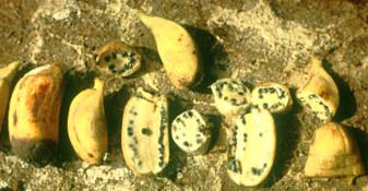 Banana com semente