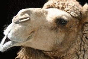 Um camelo pensando sobre sua monografia