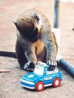 """Macaco """"brincando"""" com um carrinho"""